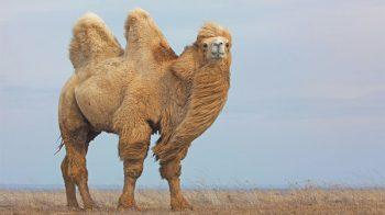 A fisiologia única do camelo