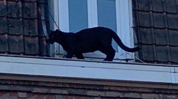 Pantera negra ronda os telhados na França