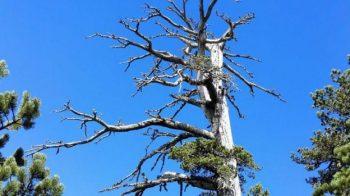 A árvore mais antiga da Europa