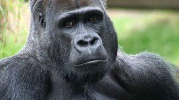 Gorilas também podem ser suscetíveis ao coronavírus