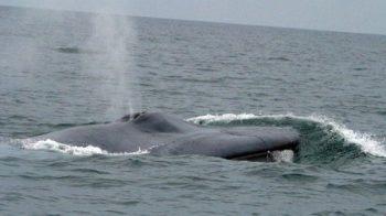 Corações de baleia podem bater apenas duas vezes por minuto