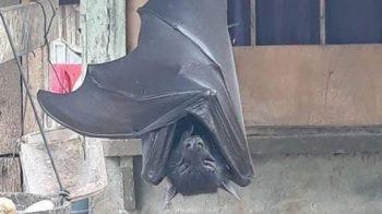 Foto de morcego 'de tamanho humano' é realmente real