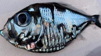 Bizarro 'peixe Picasso' parece uma pintura