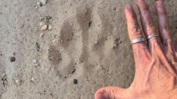 Impressão de pata gigante desperta debate sobre felino na Austrália