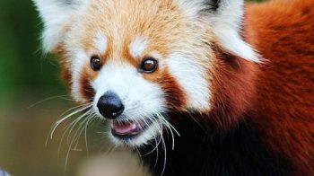 Pandas vermelhos podem ser duas espécies distintas